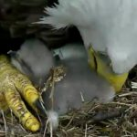 Parent shows care to newly hatched baby eagle