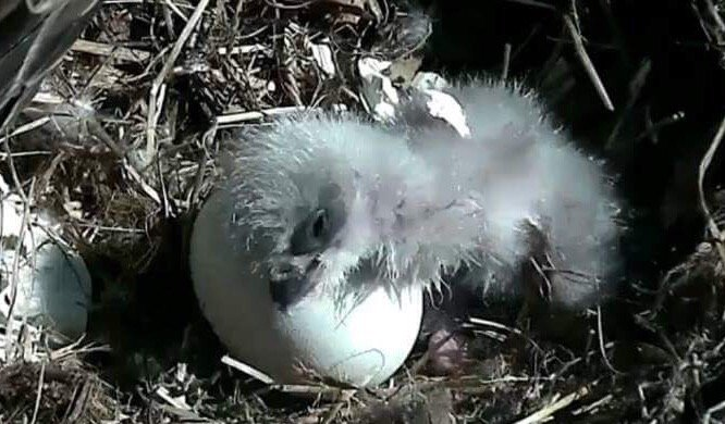 Baby eagle DC4 rests on unhatched egg of sibling