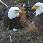 Mom and daddy eagle discuss shifts