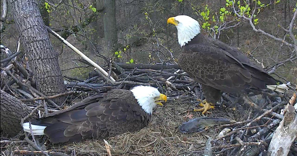 MrP brings food for TFL to start feeding baby eagle