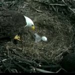 Mom feeds baby eagle