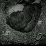 31Mar Dad eagle sleeps in the rain