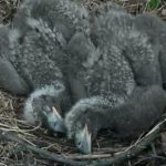 Apr23rd Eaglets sleep in fetal position