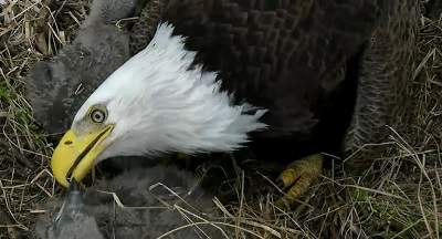 Mother eagle gently feeds DC5