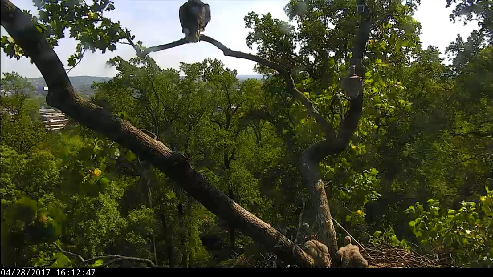 Mom or Dad is always perched nearby over the nest