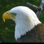 A Close Up picture of Mommy Eagle