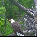 Dad is perched nearby the nest.